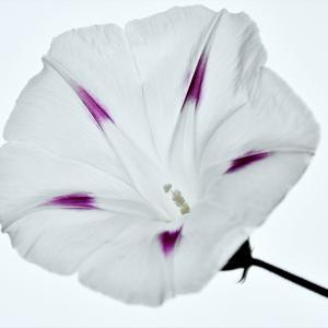 10月14日 祝 体育の日  白いアサガオの花に癒されて   No.7085