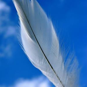 11月17日 アラスカの異常気象にも負けずにハクチョウが飛来 No.7168