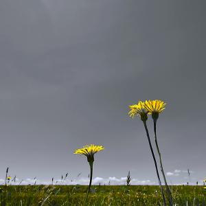 タンポポの花  No.7367