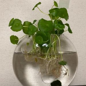 水栽培(まりも)