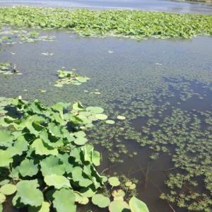 2020.6 はりまの池での活動 地元の自作 日光浴わなでのカメ捕獲と いろんなタイプのカメわな