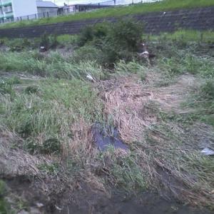 2020.7 豪雨のあとの川の「ゴミツリー」と 疲れきったようすのカメたち など<前編>※あとで追記します