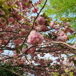 釜山中央公園 八重桜見頃