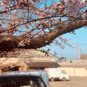 富来の桜も