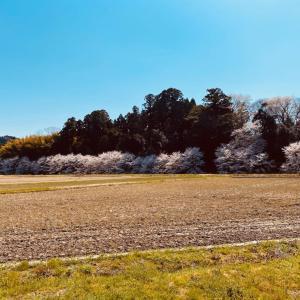上棚矢駄の桜