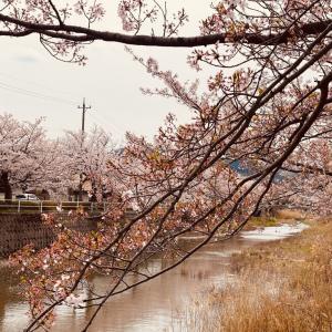 てらおか風舎金沢店そばの桜