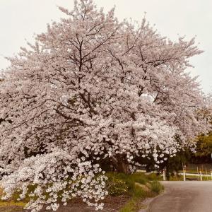 東増穂保育所跡の桜