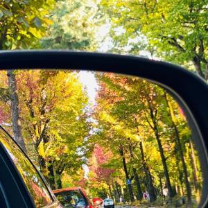 アメリカ楓の並木道