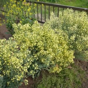 野菜の花 (ブロッコリー、小松菜、水菜、大根、カブ)