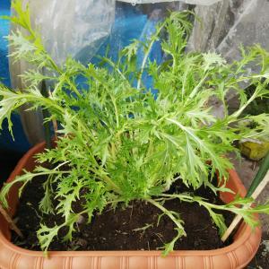 花芽・蕾を摘芯すると野菜は育つ?