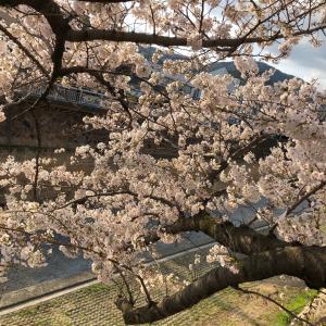 芦屋川桜満開