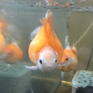 金沢市の中心部大型ビジョンに金魚が出る!