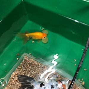 手間の掛からない冬の金魚