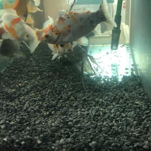 自らレイアウトを整える金魚たち