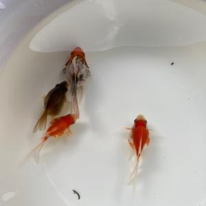にゃんきちさん金魚紹介