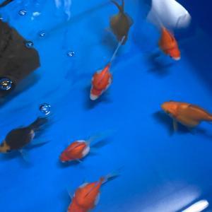 この冬のにゃんきちさん金魚
