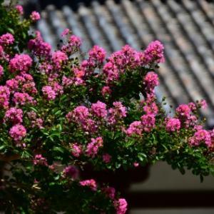 奈良公園・東大寺周辺の百日紅