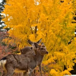 黄紅葉と鹿