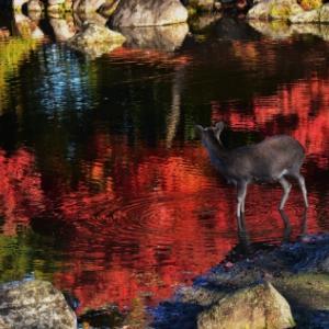 11月29日、早朝の奈良公園