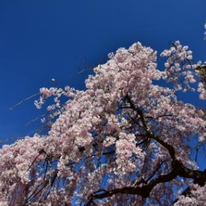 桜の点景2020、氷室神社
