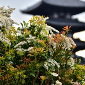 時期遅れですが2、興福寺・塔のある花景色