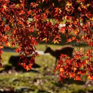 雨後の奈良公園紅葉