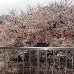 2階からの桜