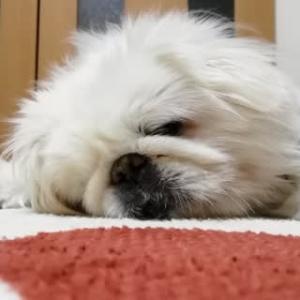 大の字で寝るワン