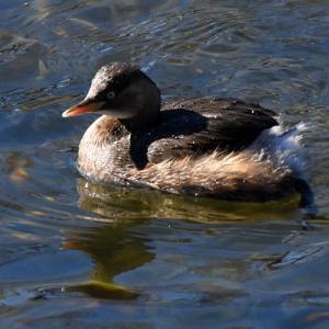 京都 鴨川の野鳥たち 4 カイツブリ他