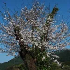 桜咲くが・・