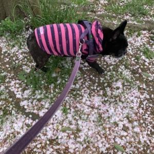桜のじゅうたん 2