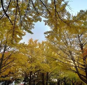 北大のイチョウ並木