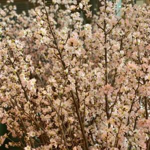 啓翁桜 甘酸っぱい春の香り
