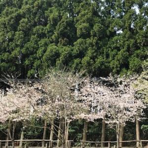 馬場の桜、満開です