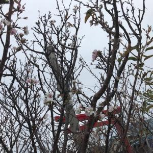 おや、桜だ!