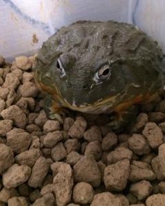 カエルの日……な話(クランウェルツノガエル・アフリカウシガエル)