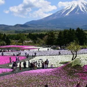 富士芝桜まつり✿阪急百貨店に出店中です
