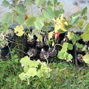 667_春にタネから育て始めて、いまだに育苗ポットにいる子たちをはたけに植えてみることにしました