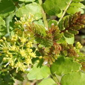 700_葉山椒(ハザンショウ)の花と新芽