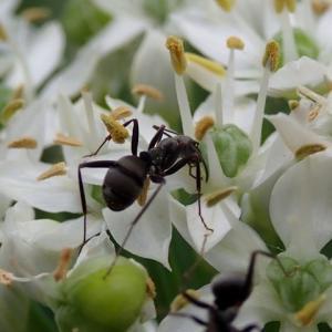 782_韮(ニラ)の花に集う虫たち