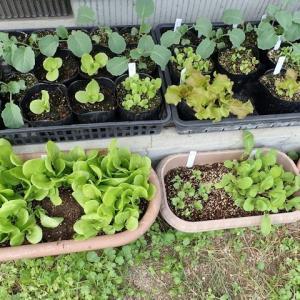 793_ミニッコレタスとサニーレタスの苗を定植した