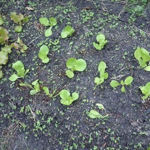 794_定植したとたんに根切り虫にやられたミニッコレタス