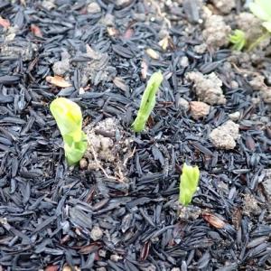 804_来春に収穫する絹莢豌豆(キヌサヤエンドウ)などの発芽