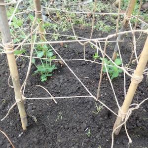 833_街なかのはたけに絹莢豌豆(キヌサヤエンドウ)とスナップ豌豆を植えた