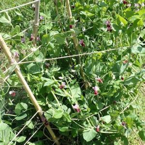 836_11月と2月にタネ蒔きをした絹莢豌豆(キヌサヤエンドウ)とスナップ豌豆の成長の差
