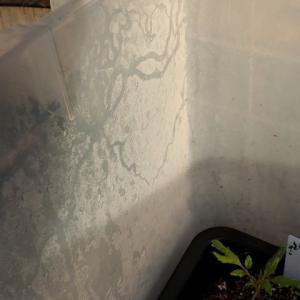 843_ミニトマトの苗食害犯の現場を押さえました