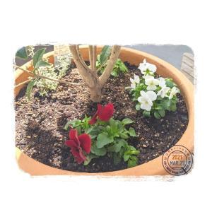 **ガーデニングな日々**先月、妹からもらった花を寄植えしてから毎日まいにち仕事...