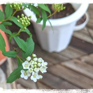 ** Σ(,,ºΔº,,*)!**小手毬が咲いてるっ年越して2年めの花ってめっ...