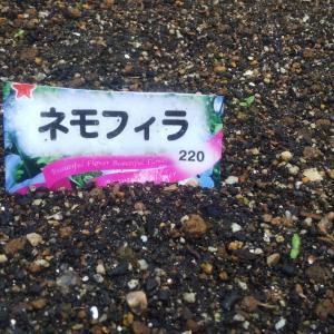 【ネモフィラ】発芽