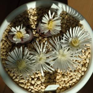 開花が始まった紫李夫人